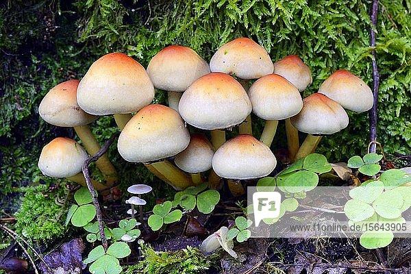 Ziegelroter Schwefelkopf (Hypholoma lateritium) auf Waldboden  Naturpark Barnim  Brandenburg  Deutschland  Europa