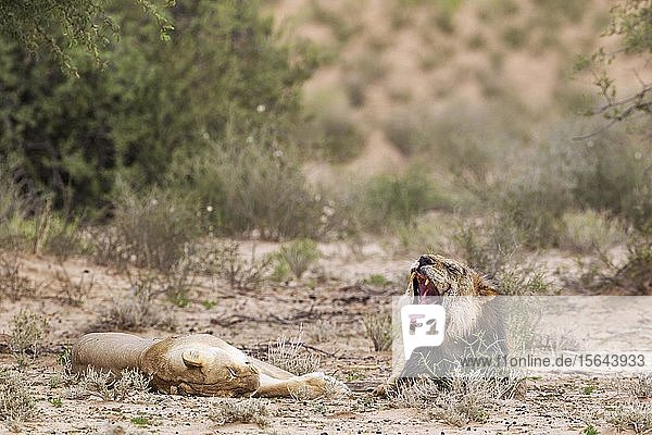 Kalahari-Löwen (Panthera leo vernayi)  Alttiere  Tierpaar  müde nach der Paarung  Kalahari-Wüste  Kgalagadi Transfrontier Park  Südafrika