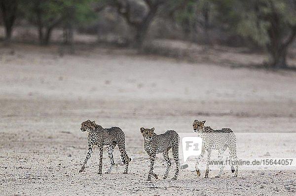 Geparden (Acinonyx jubatus)  Weibchen mit männlichen Jungtieren im trockenen und kargen Auob Flussbett  Dürre  Kalahari-Wüste  Kgalagadi Transfrontier Park  Südafrika