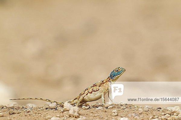 Rote Stachelagame (Agama aculeata)  Weibchen  Kalahari-Wüste  Kgalagadi Transfrontier Park  Südafrika