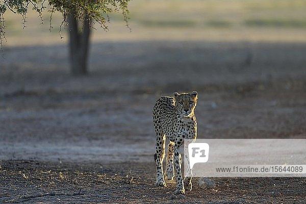 Gepard (Acinonyx jubatus)  Weibchen im trockenen und kargen Aoub-Flussbett  Kalahari-Wüste  Kgalagadi Transfrontier Park  Südafrika