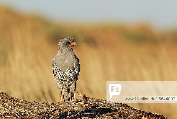 Heller Singhabicht (Melierax canorus)  sitzend  Kalahari-Wüste  Kgalagadi Transfrontier Park  Südafrika