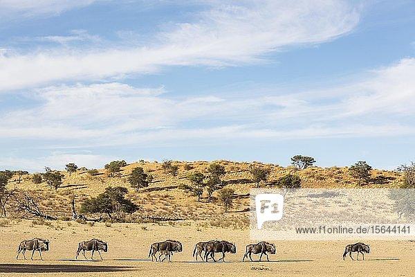 Streifengnus (Connochaetes taurinus)  Herde im trockenen Nossob Flussbett  hinter einer typischen Kalahari-Düne  Kalahari-Wüste  Kgalagadi Transfrontier Park  Südafrika