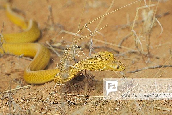 Kapkobra (Naja nivea)  jagend  Kalahari-Wüste  Kgalagadi Transfrontier Park  Südafrika
