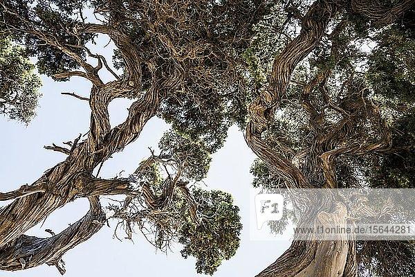 Uralter Phönizische Wacholder (Juniperus phoenicea) am Strand  bei Sartène  Korsika  Frankreich  Europa