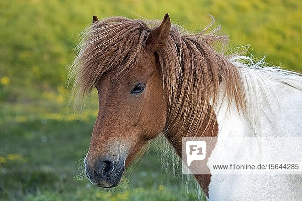 Islandpferd (Equus islandicus)  Tierporträt  Island  Europa