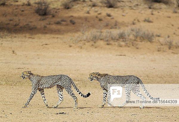 Geparden (Acinonyx jubatus)  zwei subadulte Männchen gehen im trockenen und kargen Auob Flussbett  Kalahari-Wüste  Kgalagadi Transfrontier Park  Südafrika