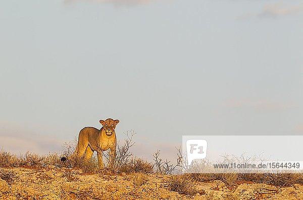 Löwin (Panthera leo)  Weibchen  beobachtet ihre Umgebung von einem felsigen Grat aus  Kalahari-Wüste  Kgalagadi Transfrontier Park  Südafrika