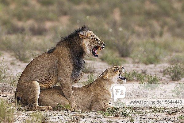 Black-maned lions (Panthera leo vernayi)  fairly old animal pair mating  Kalahari Desert  Kgalagadi Transfrontier Park  South Africa  Africa