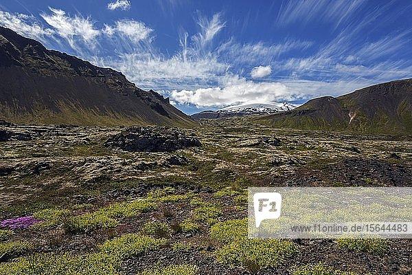 Mit Pflanzen bewachsene Vulkanlandschaft  hinten der Gletscher Snæfellsjökull  bei Arnarstapi  Halbinsel Snæfellsness  Island  Europa