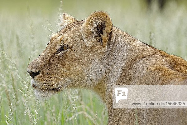 Lioness (Panthera leo)  adult female  standing in high grass  animal portrait  Kgalagadi Transfrontier Park  Northern Cape  South Africa  Africa