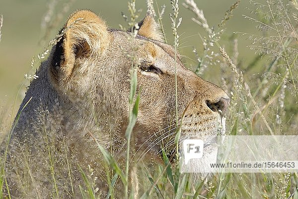 Lioness (Panthera leo)  adult female  in high grass  animal portrait  Kgalagadi Transfrontier Park  Northern Cape  South Africa  Africa