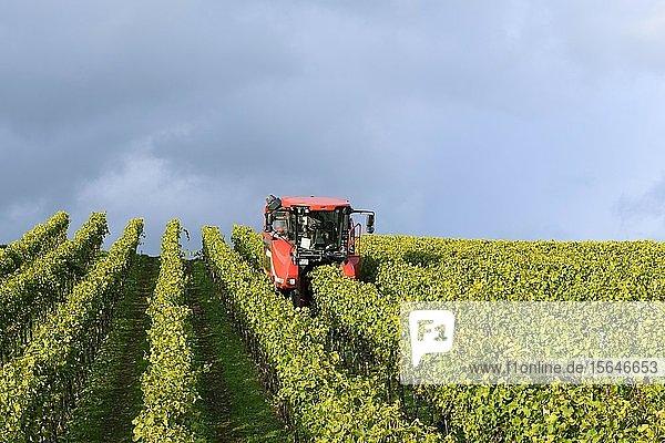 Grape harvester at the grape harvest  Baden-Württemberg  Germany  Europe Grape harvester at the grape harvest, Baden-Württemberg, Germany, Europe