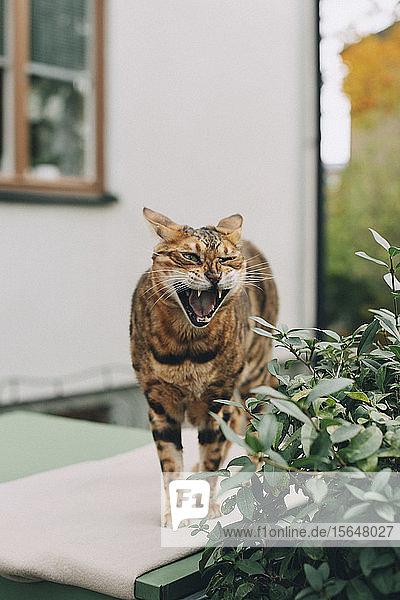 Katze mit geöffnetem Maul  während sie bei einer Pflanze außerhalb des Hauses auf einer Stützmauer steht
