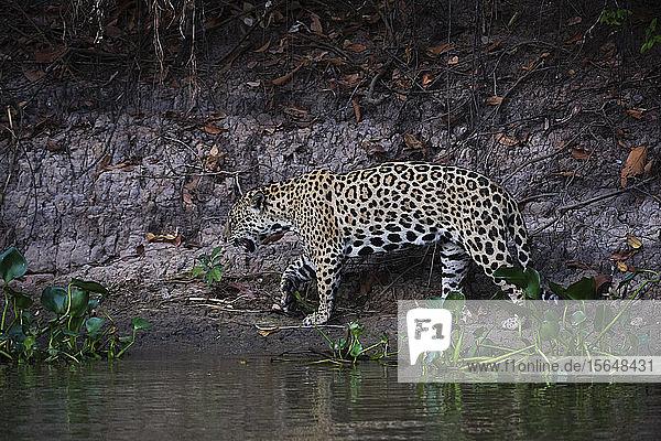 Jaguar (Panthera onca) walking on river bank  Pantanal  Mato Grosso  Brazil