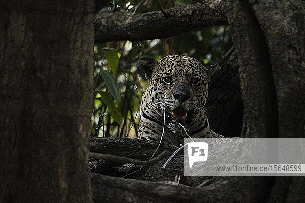 Jaguar (Panthera onca)  Pantanal  Mato Grosso  Brazil