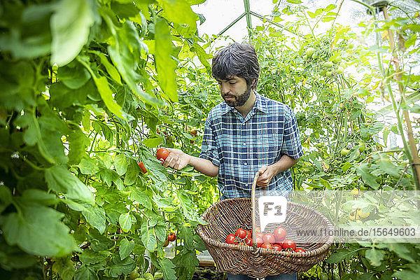 Gärtner pflückt reife Crimson Crush-Tomaten im Spätsommer im Gewächshaus eines Bio-Gemüsegartens