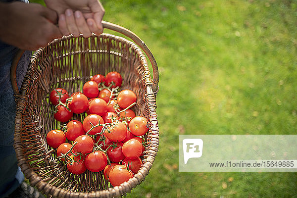 Gardener with basket of ripe Crimson Crush tomatoes in organic vegetable garden