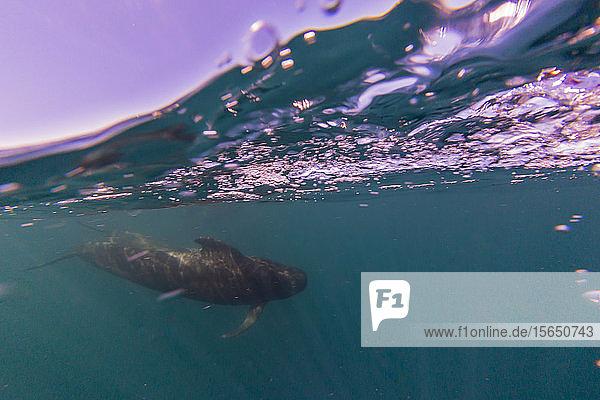 Short-finned pilot whale (Globicephala macrorhynchus)  underwater off Isla San Marcos  Baja California Sur  Mexico