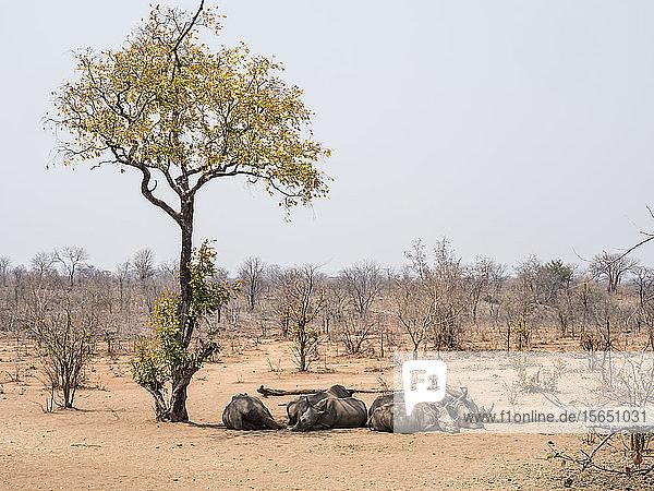 Adult southern white rhinoceros (Ceratotherium simum simum)  guarded in Mosi-oa-Tunya National Park  Zambia