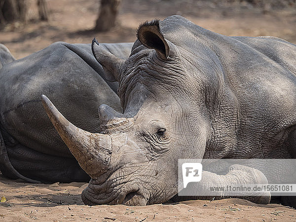 An adult southern white rhinoceros (Ceratotherium simum simum)  guarded in Mosi-oa-Tunya National Park  Zambia