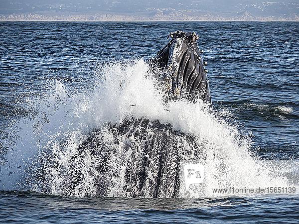 Humpback whale (Megaptera novaeangliae)  lunge-feeding in Monterey Bay National Marine Sanctuary  California  United States of America