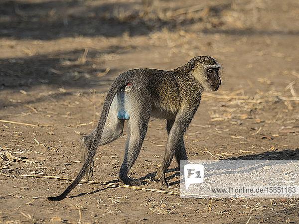 An adult male vervet monkey (Chlorocebus pygerythrus)  South Luangwa National Park  Zambia