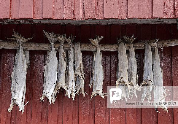 Cod drying on a wooden pole in Reine  Moskenesoy  the Lofoten Islands  Norway