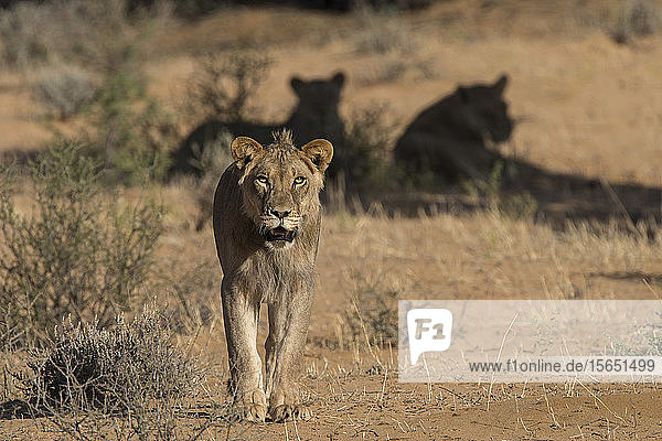 Lion (Panthera leo) male  Kgalagadi Transfrontier Park  South Africa