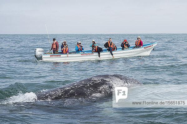 California gray whale calf (Eschrichtius robustus)  with whale watchers in San Ignacio Lagoon  Baja California Sur  Mexico