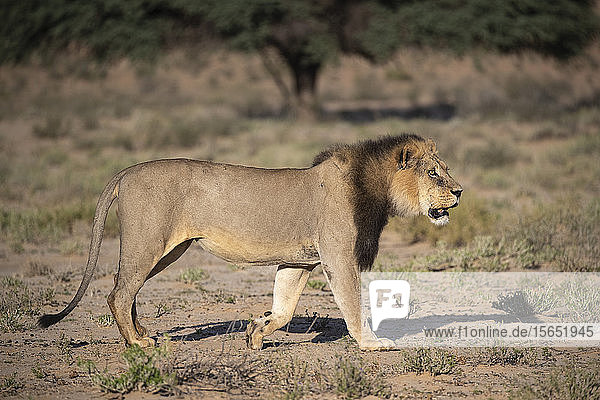 Lion (Panthera leo) male  Kgalagadi Transfrontier Park  South Africa  Africa