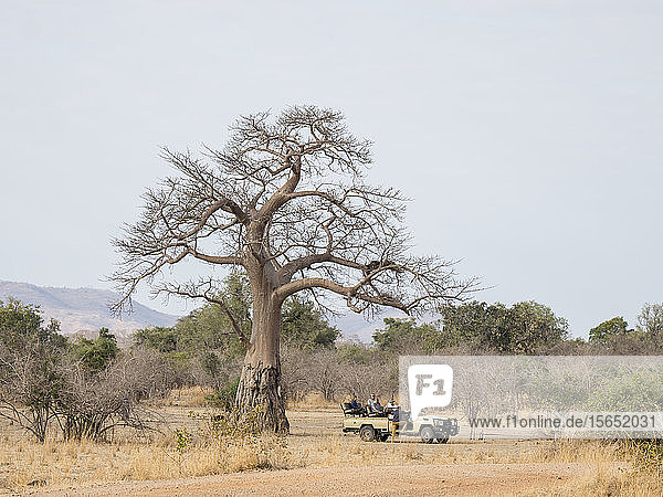 A very large baobab tree (Adansonia digitata)  showing elephant foraging damage in South Luangwa National Park  Zambia  Africa