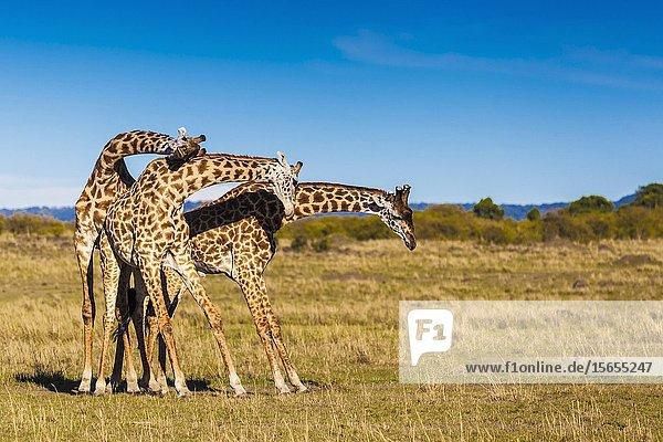 Giraffes in 'necking' mood  Masai Mara National Reserve  Kenya.