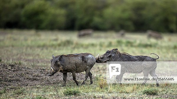 Wathogs in a mating mood in Masai Mara.