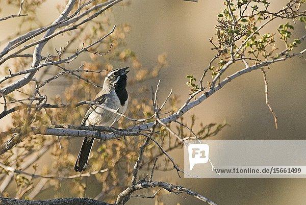 Black-throated Sparrow Amphispiza bilineata male Joshua Tree California April