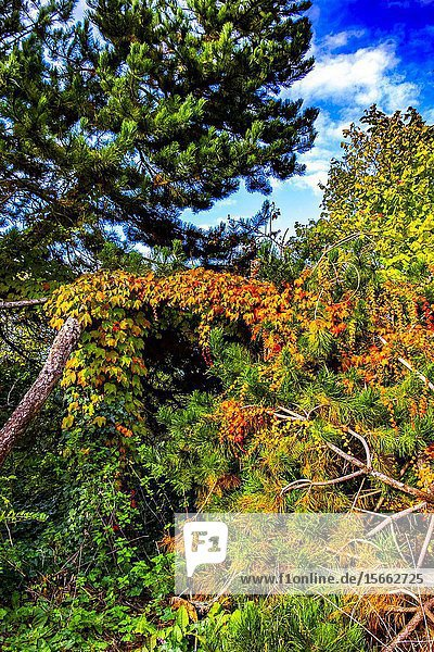 Autumn colors in German nature with flaming red ivy climbing up green trees  Europe.