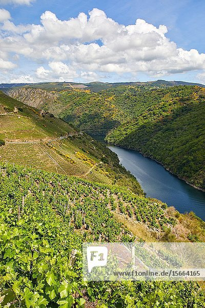 Vineyards  Ribeira Sacra  Heroic Viticulture  Sil river canyon  Sober  Lugo  Galicia  Spain