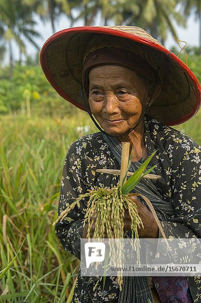 Portrait of an old farmers woman harvesting rice  showing the knife to cut the rice  near Borobudur Temple located in central Java Island  Indonesia.