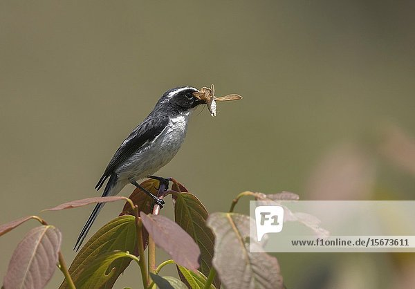 Grey Bushchat  Saxicola ferreus with Insect Kill  Uttarakhand  India.