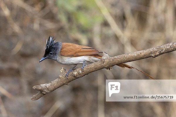 Asian paradise flycatcher  female  Terpsiphone paradisi  Sinhgadh Vally  Pune  Maharashtra  India.