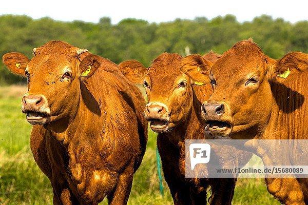 Limousin cattle grazing  Norfolk England UK.