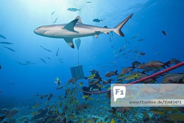 Grey Reef Shark at shark feeding  Carcharhinus amblyrhynchos  Tahiti  French Polynesia.