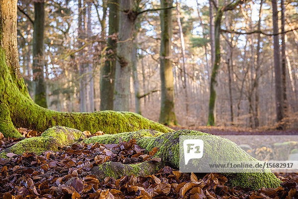 Forest floor with moss and foliage  Kloevensteen  Hamburg  Germany  Europe