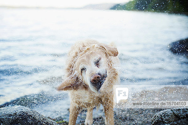 Wet dog shaking water off on beach
