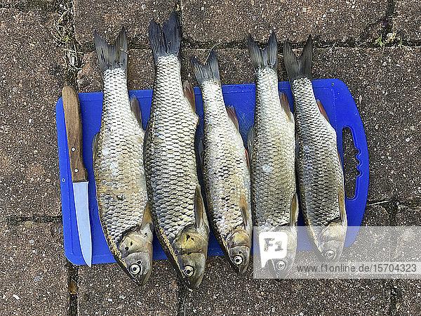 Blick von oben Döbel Karpfen Fische in einer Reihe auf Schneidebrett mit Messer