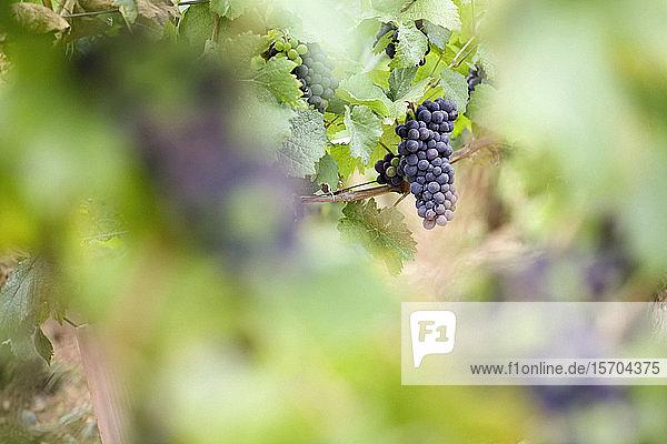 Weintrauben wachsen im Weinberg