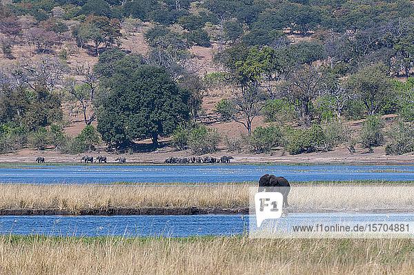 African elephants (Loxodonta africana) at waterhole  Chobe National Park  Botswana