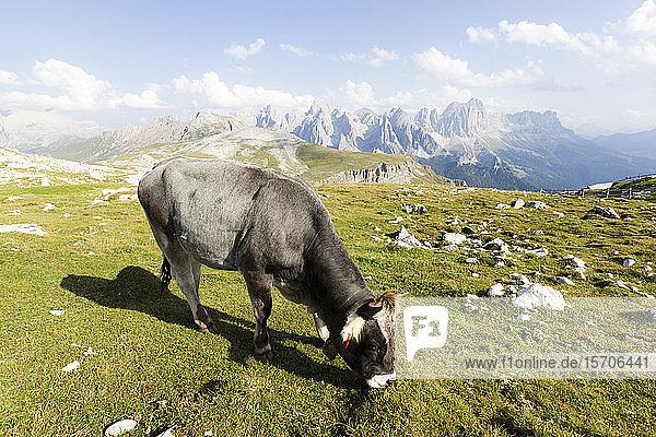 Italien  Trentino-Südtirol  Weidende Einzelkuh in den Dolomiten