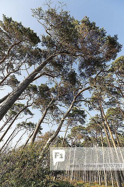 Deutschland  Darss  Tiefblick auf den Wald