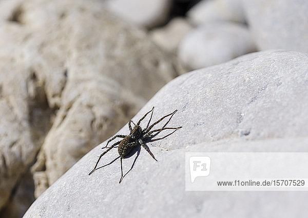 Deutschland,  Bayern,  Geretsried,  Wolfsspinne (Arctosa maculata) auf Fels liegend